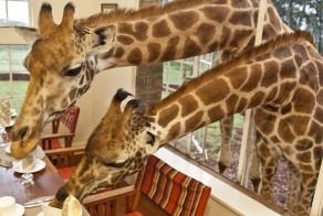 giraffe-manor-breakfast.jpg